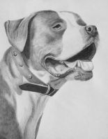 Eli the Pit Bull cross by thecountess