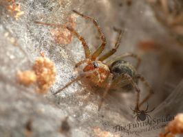 Female Labyrinth Spider - Agelena labyrinthica by TheFunnySpider