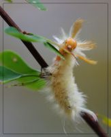 Harris' Tussock Moth 'pillar by barcon53