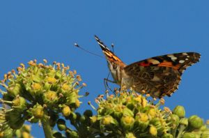 Butterfly on Ivy by stevecorrnforth