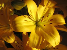 Lilies in the sun by Santian69