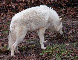 White Wolf Stock 18 by HOTNStock