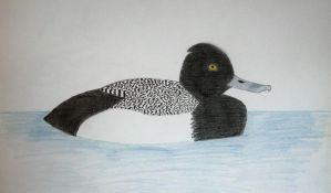 Lesser Scaup by Kyle197