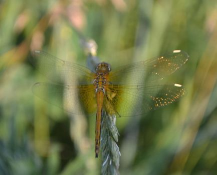 dragonfly by Elf-from-a-lake