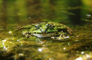 Froggy by Laoki