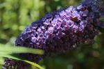 Butterfly Bush by paws720