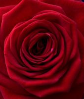 Red Rose by pretence