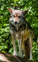 Mexican Wolf Stock 38 by HOTNStock