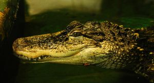American Alligator by Shadow-and-Flame-86