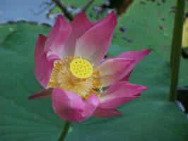 Blossom Lotus by airyh