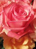 Pink Rose I by looking-for-hope