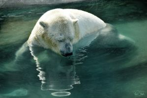 Polar Bear by TaliNatPhotography