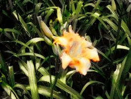 Day lily by WiccanSilver