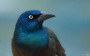 Common Grackle 5 by Nini1965