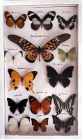 STOCK IMAGE butterfly collection 1 by LamollesseStockImage