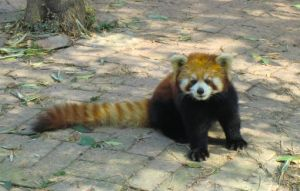 Red Panda stock by KatrineTindlund