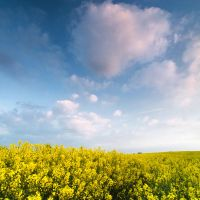 Herefordshire Rapeseed Field by Dave-Ellis