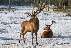 Red deer in the snow by BetaDraconis