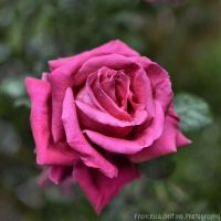 Big pink rose by FrancescaDelfino