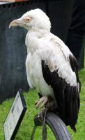Palm-nut Vulture 1 by fuguestock