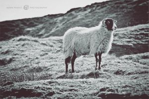 Yorkshire Dales Sheep by Aden-Photo