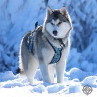Siberian husky - Enya - Queen by Dosty7