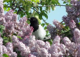 Magpie and Flowers by Canislupuscorax