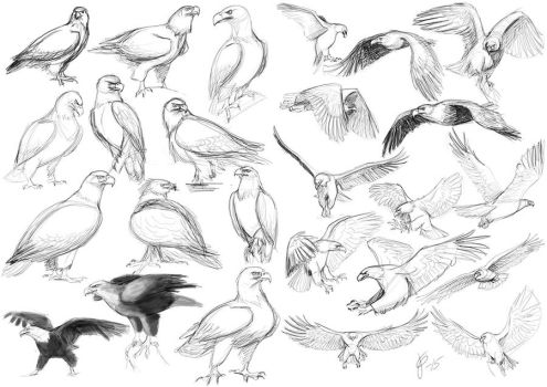 Eagle studies Part 1 by Tigerty