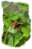 wasp HDR by Insect-Lovers-Club