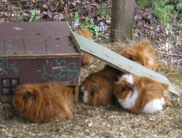 Guinea piggies at the zoo by xxTwilightDreamzxx