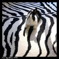 Oreo on Zebra by Cillana