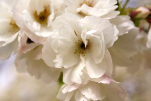 pure as the driven blossom by karliosi