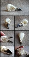 Magpie Skull by CabinetCuriosities