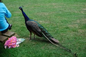 Please Don't Feed the Peacocks by clarearies13