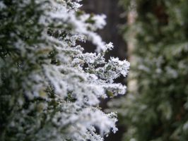 Frost on Plants 3 by nwalter