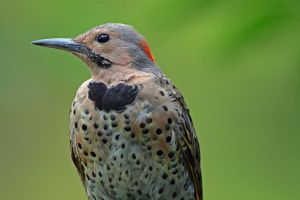 Immature Male Flicker Detail by clippercarrillo