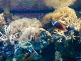 Clown Fish and Coral 02 by ashy-stock