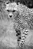 International Cheetah Day #2 by Seb-Photos