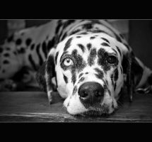 dalmatian by maryaneee
