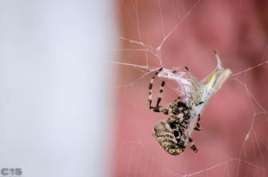 Cross Spider 2 by case15