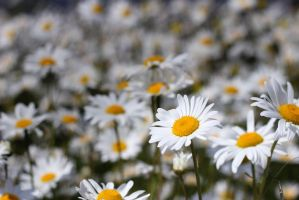 Field of Daisies-1 by Rea-the-squirrel