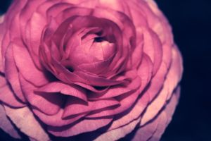 rose by DeZzibELl