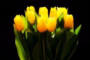 Tulips by mpdman