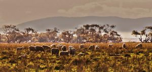Sheep in the scrubland by Bluebuterfly72