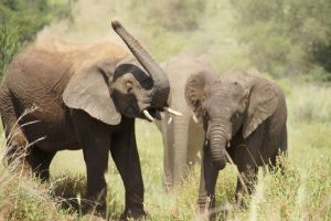 Elephants playing by Sternauge