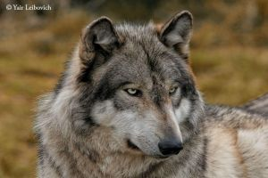 wolf beauty by Yair-Leibovich