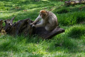 Monkey-49 by Random-Acts-Stock
