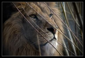 African Lion.. by lomoboy