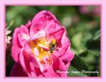 Honey Bee on Pink Rose by reenaj