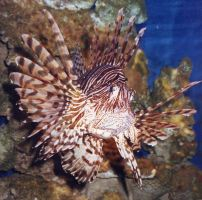 Lionfish - My new avator by tweedale23
